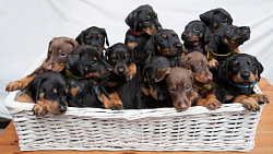 Another lathe safety consideration-doberman_puppies.png