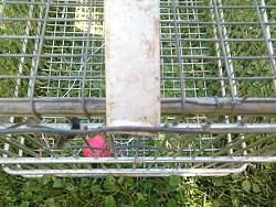 FOX  TRAP TO  PROTECT   FOR  YOUR   COOP  DURING  THE   NIGHT.-img_20180603_163024.jpg
