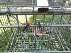 FOX  TRAP TO  PROTECT   FOR  YOUR   COOP  DURING  THE   NIGHT.-img_20180603_163049.jpg