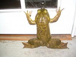 Frog bat-frog-004.jpg