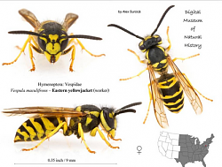 Yellow Jacket Exterminator-eastern-yellow-jacket.png